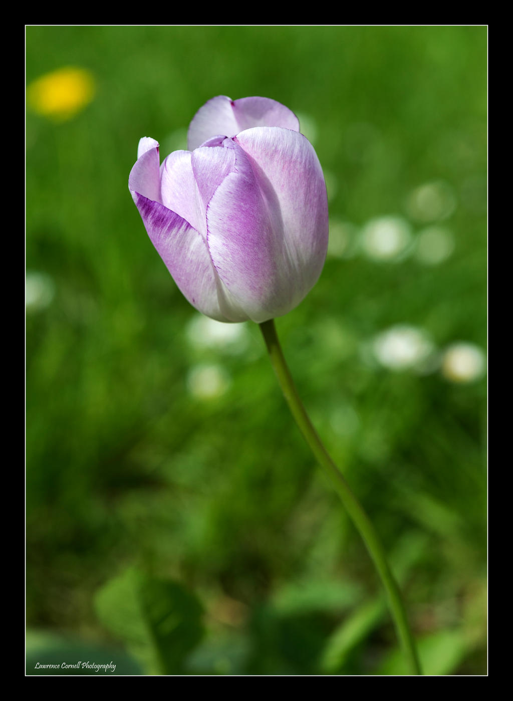 A blushing tulip by LordLJCornellPhotos