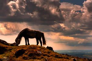 Wild ponies grazing.