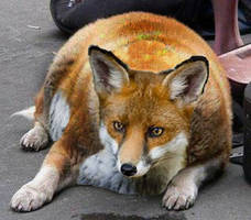 Fattest Fox Alive by Eric-Fox
