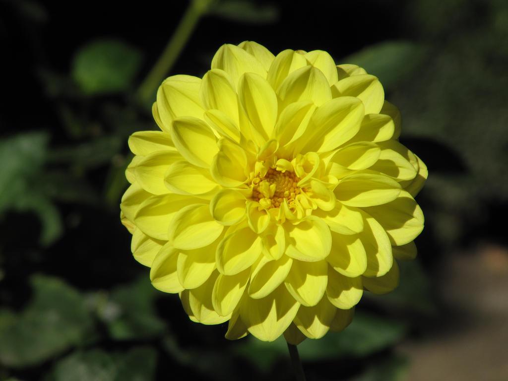 yellow dahlia flower - photo #7