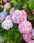 Pink, Purple, Blue Hydrangeas