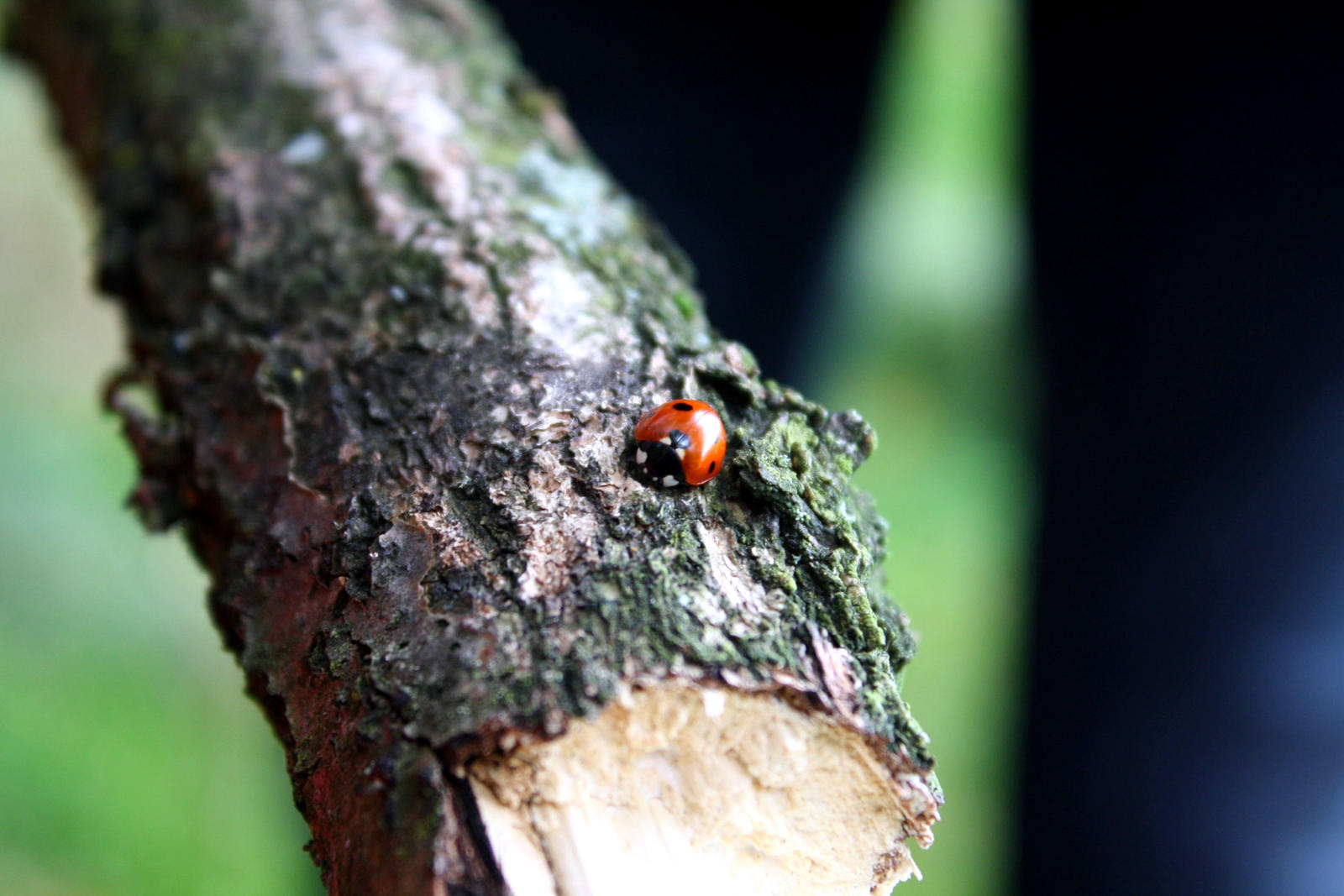 lady beetle (ladybird) by LoveForDetails