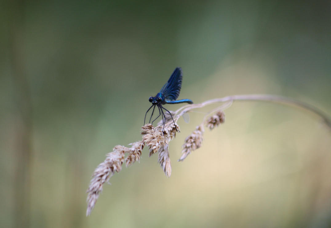 Calopteryx virgo by LoveForDetails