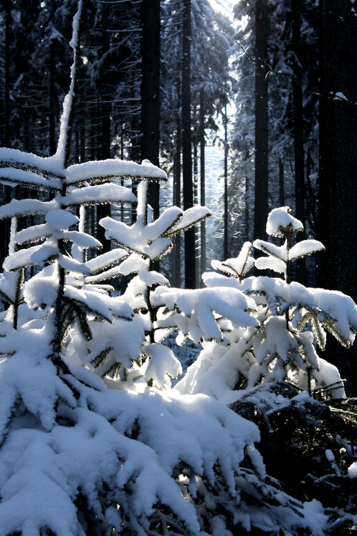 Snowed fir by LoveForDetails