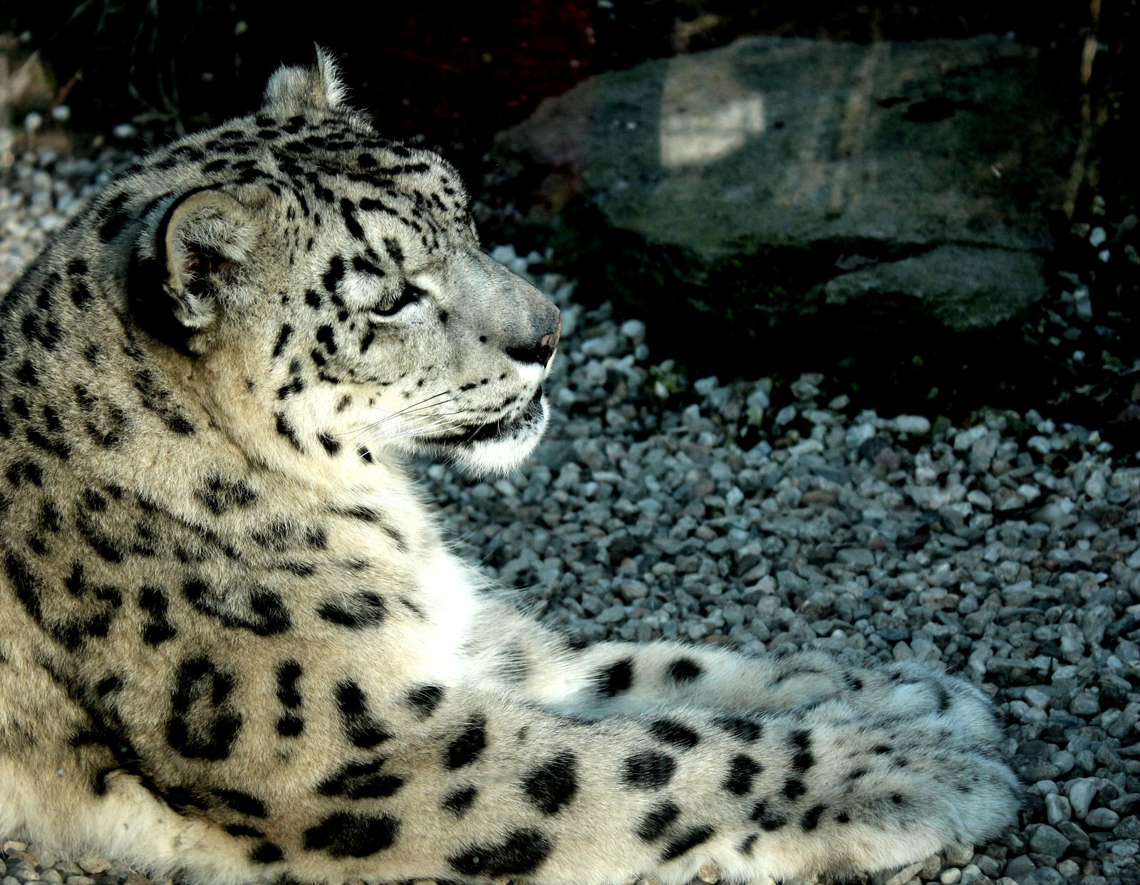 Snow Leopard by LoveForDetails