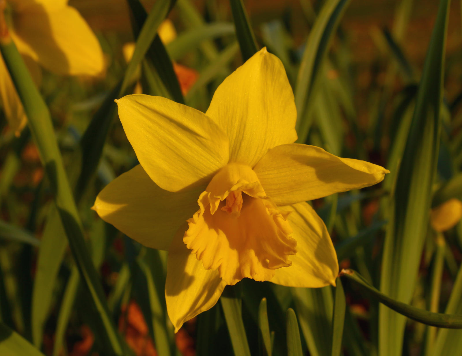 Narcissus in sunset by LoveForDetails