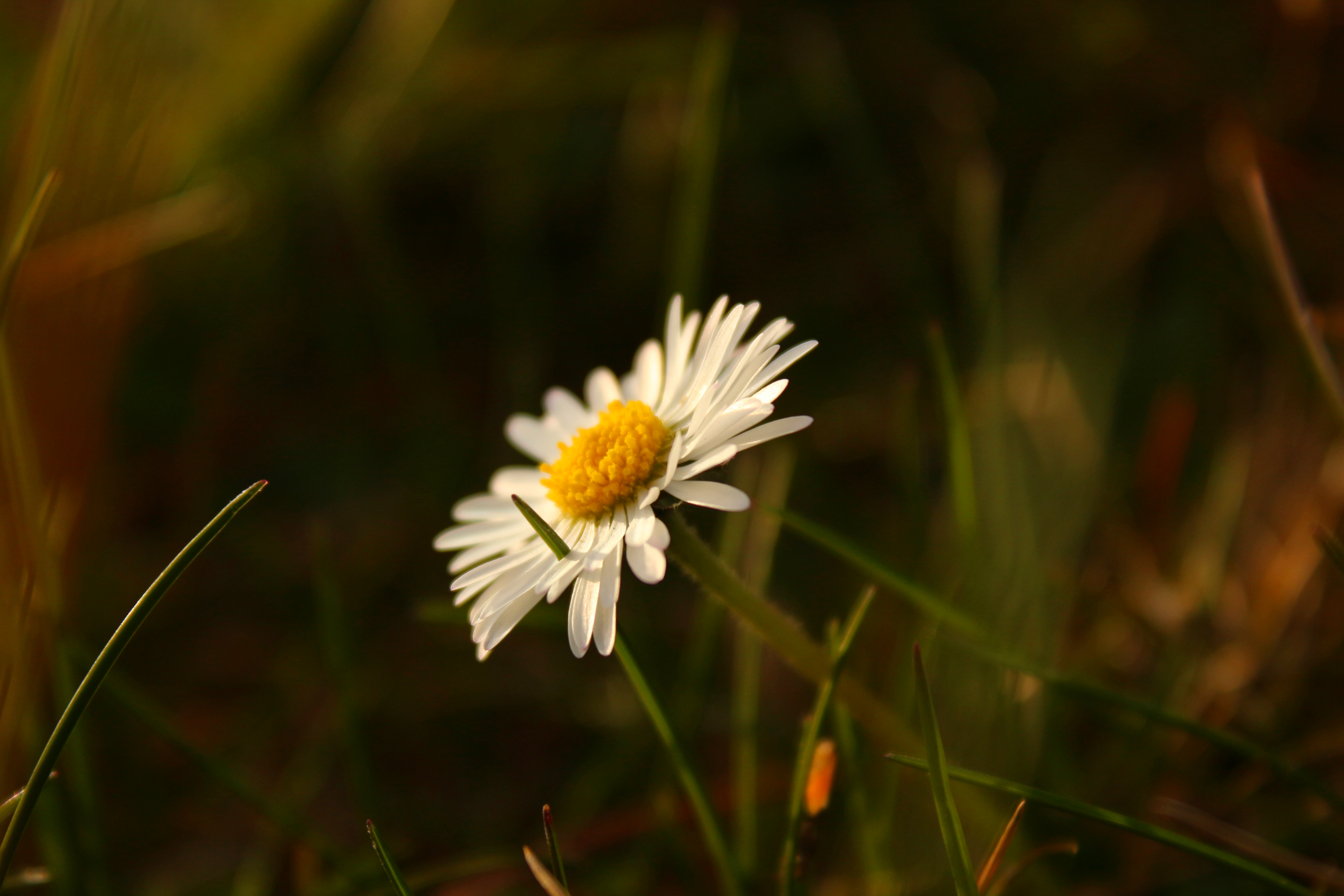 Daisy in sunset II by LoveForDetails
