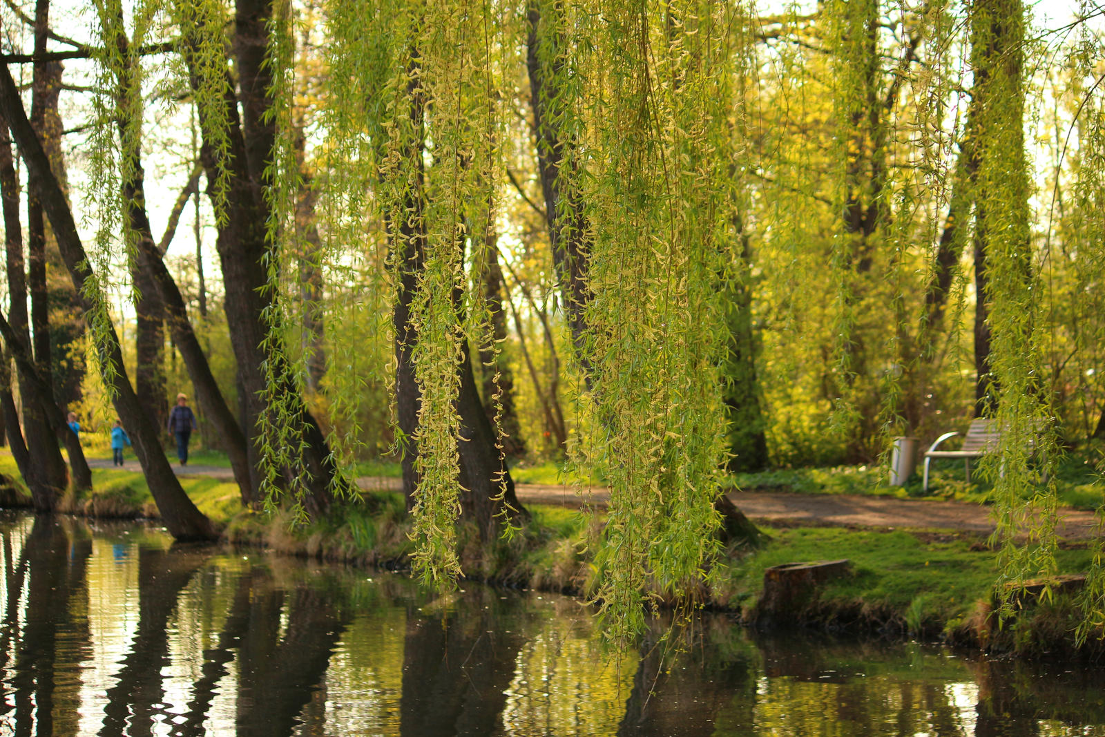 weeping birch by LoveForDetails