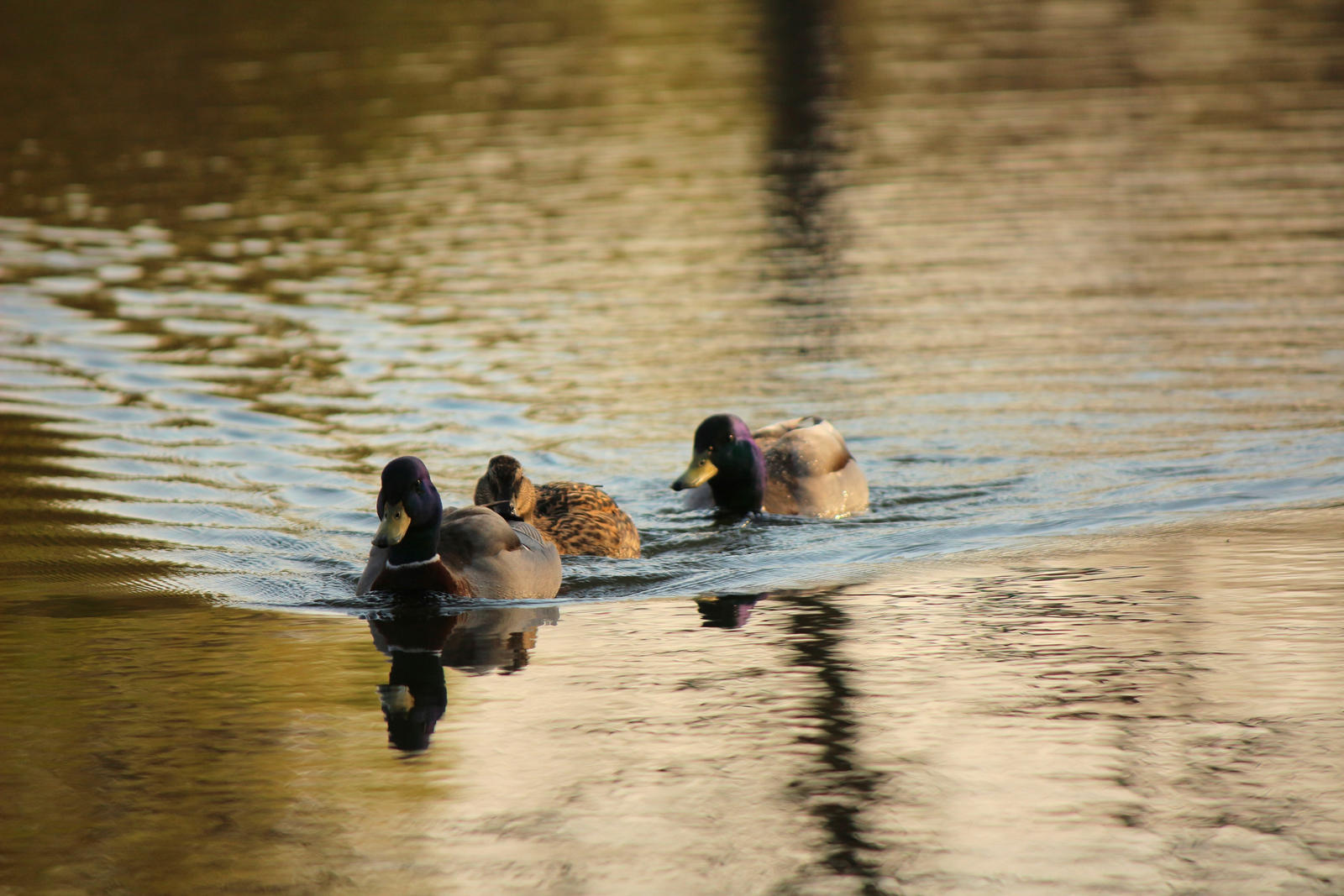 Ducks on the way by LoveForDetails