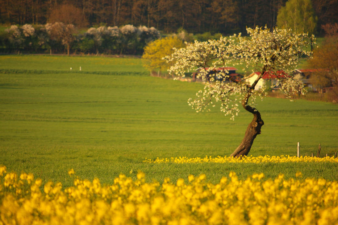 spring apple tree behind of a field of rape by LoveForDetails