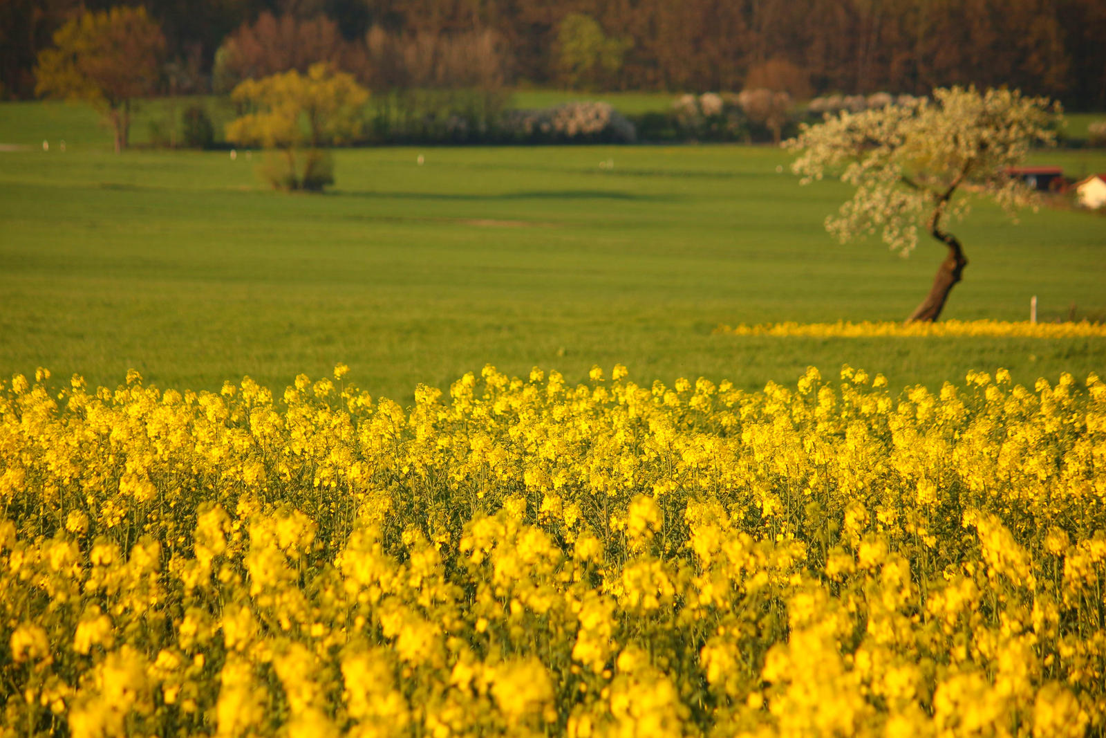 Rape field in front of an apple tree in spring by LoveForDetails