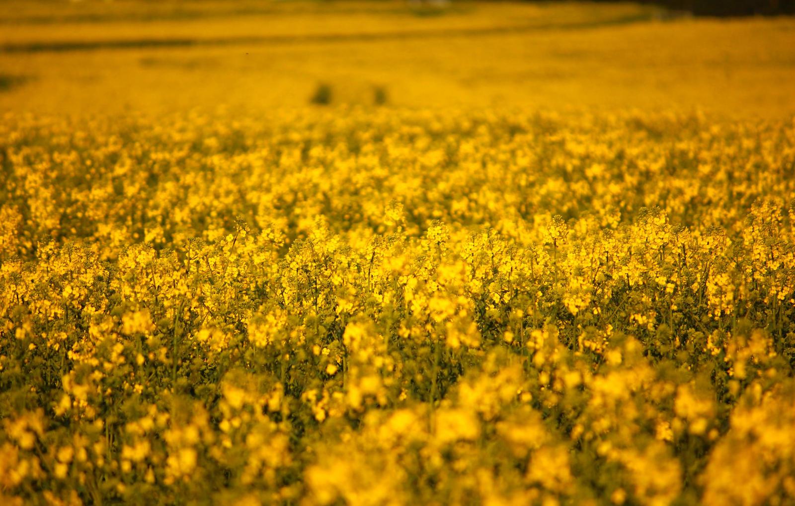 field of rape in spring by LoveForDetails