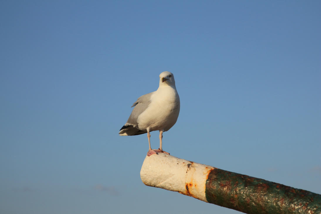 seagull by LoveForDetails
