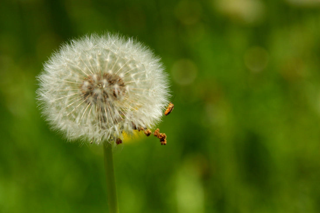 dandelion clock with features by LoveForDetails