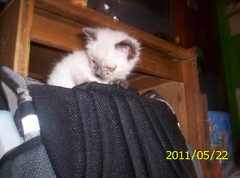 New Kitten - Kira by Poptart124