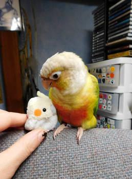 Maui meets Little Cockatiel