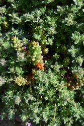 Little Ladybug 2 by FeynaSkydancer