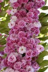 Pink Flowers by FeynaSkydancer
