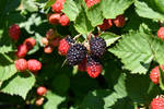 Bright Berries