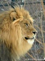 Lion Profile by EricKemphfer