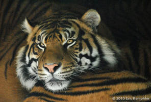Tiger Snoozing by EricKemphfer
