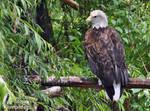 Bald Eagle by EricKemphfer
