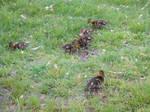 Quacklings
