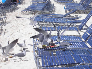 Invasion of the Seagulls
