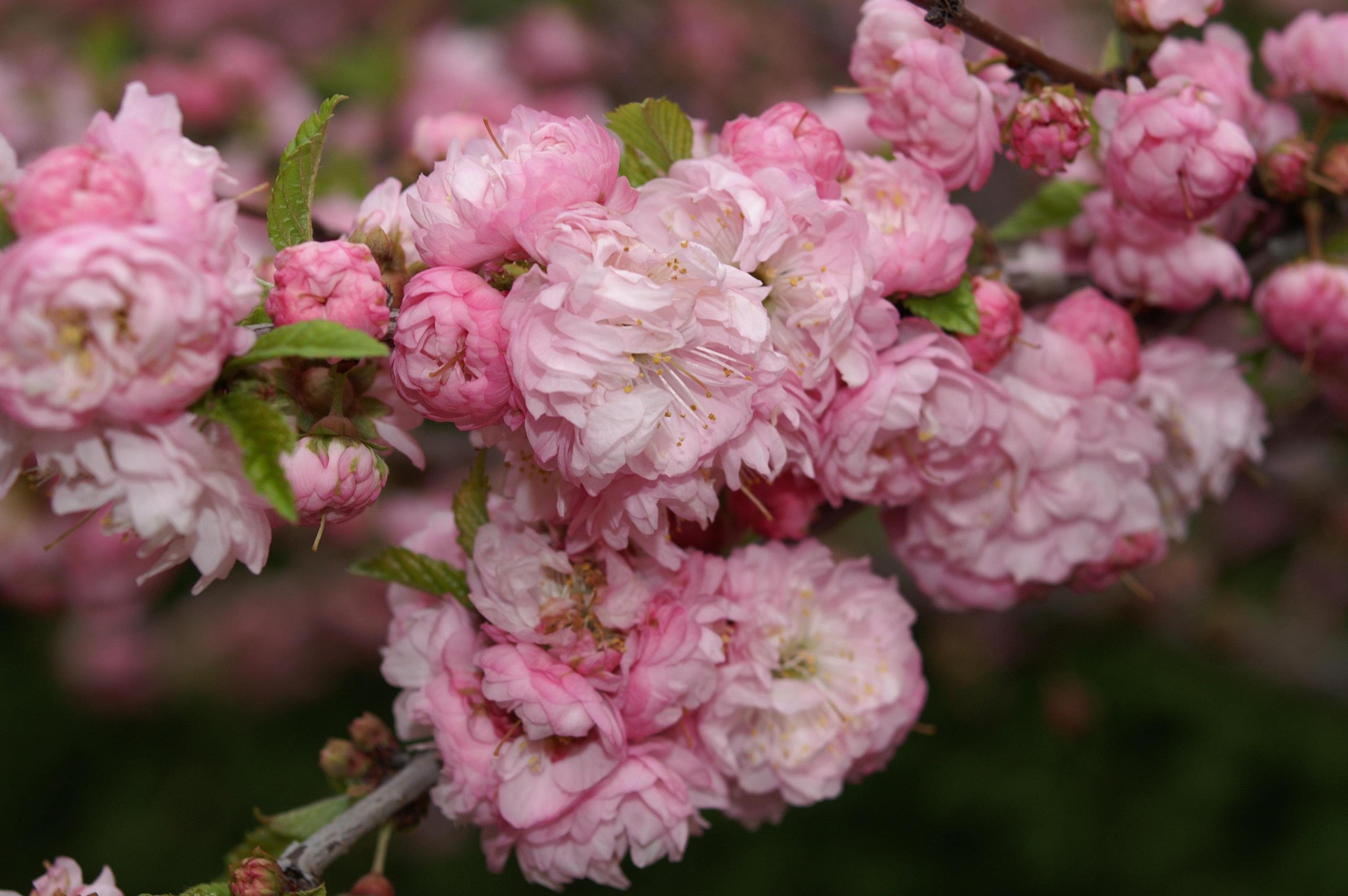 Pink flowering almond - Lookup BeforeBuying