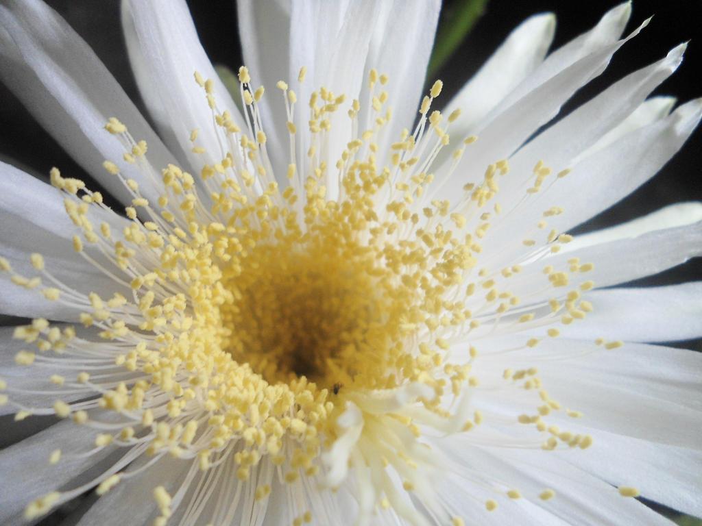 Cactus Flower by GudServo