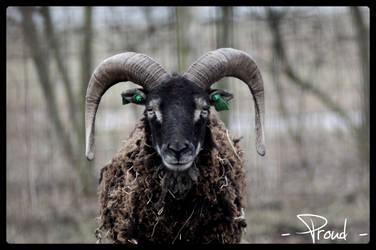 - soay sheep-