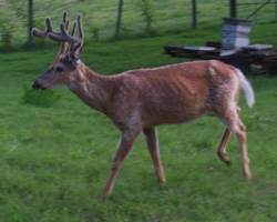 Buck 11