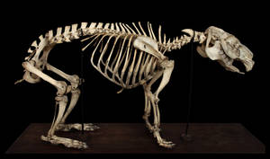 Skeleton capybaras