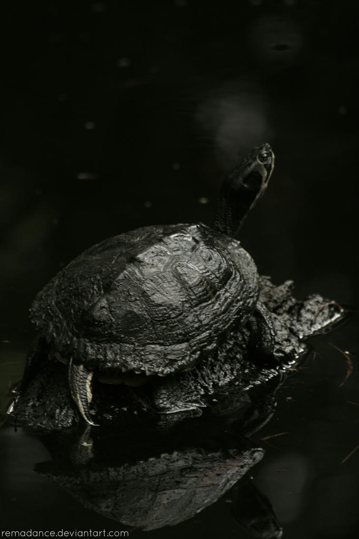 Turtle III by remadance