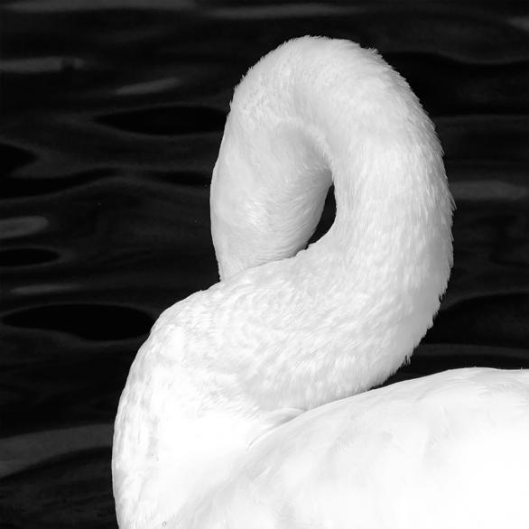 a swans tale II by FeliDae84