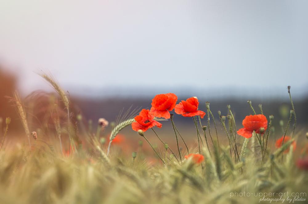 Poppy love I by FeliDae84