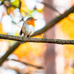 Colors of a robin