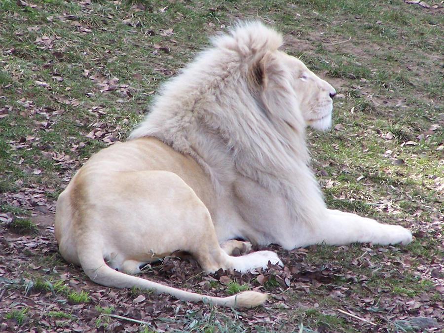 White Lion by 4U2C-aka-Shane