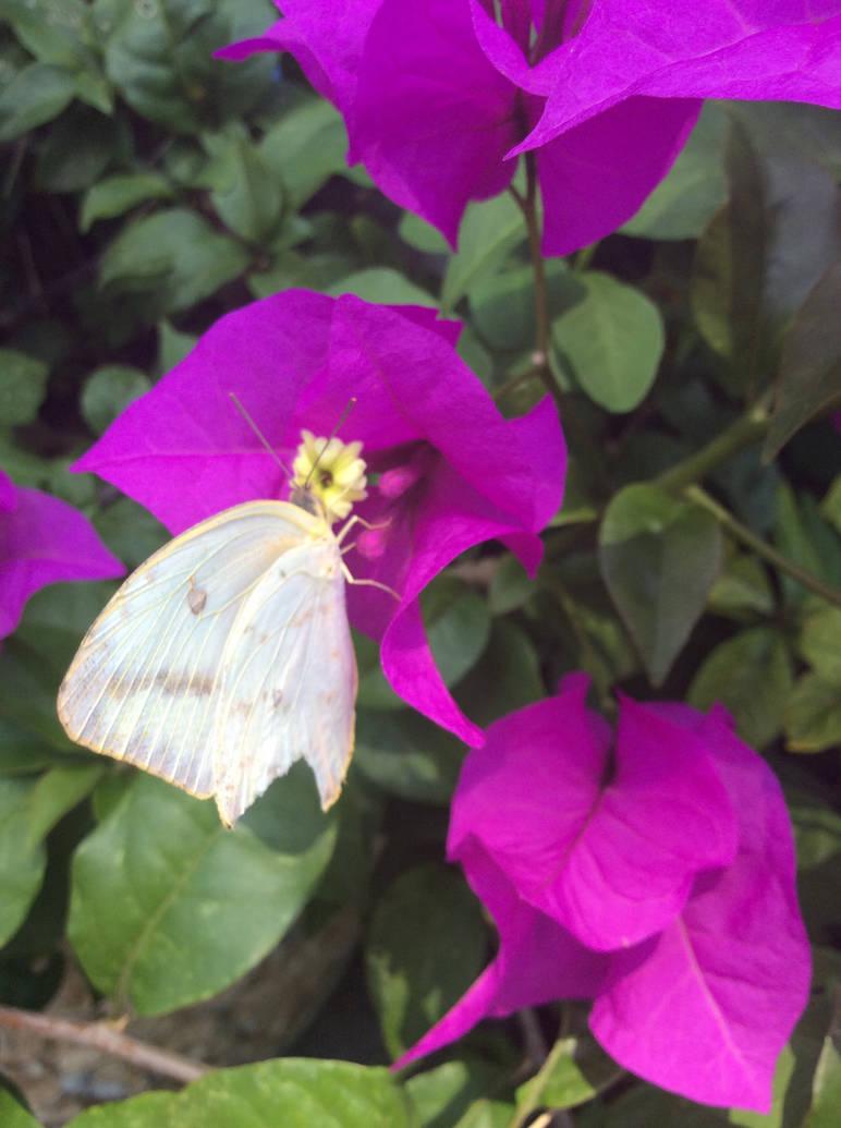 butterfly and bougainvillea by YuiHarunaShinozaki