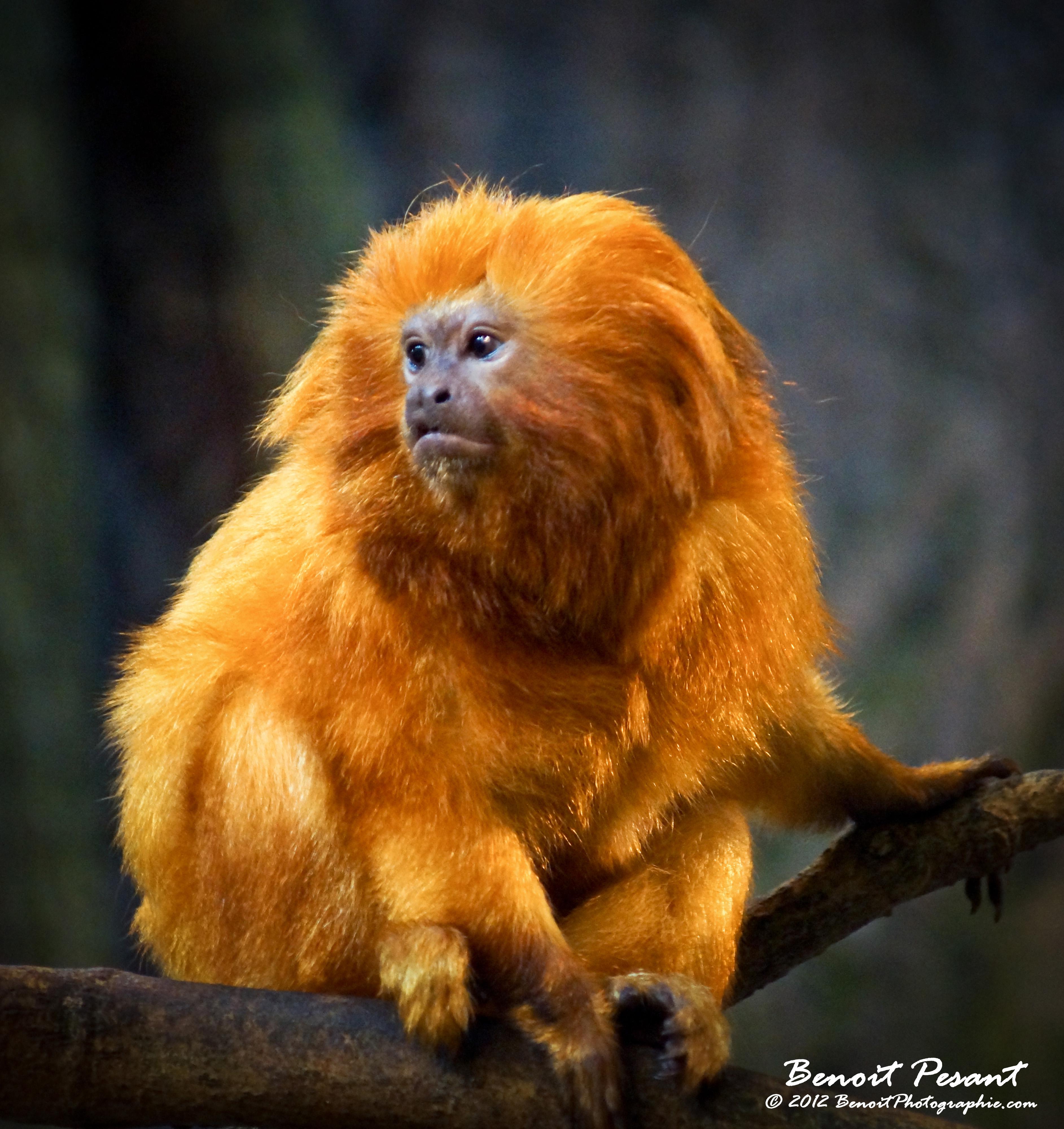 Blavatsky Nessie ♥ Tamarin_lion_dore_005_by_benoitphotographie-d59muz3