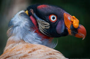 King Vulture by Maginater