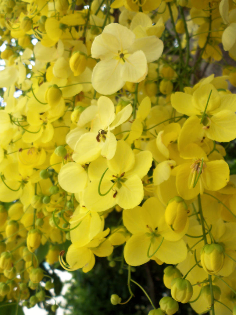 Golden shower tree flowers by Makki-Summer