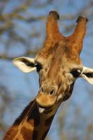 Giraffe by travisdelongchamp
