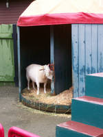 Photogenic Goat by cowgirlscholar