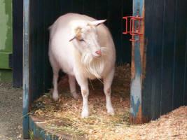 Photogenic Goat 2 by cowgirlscholar