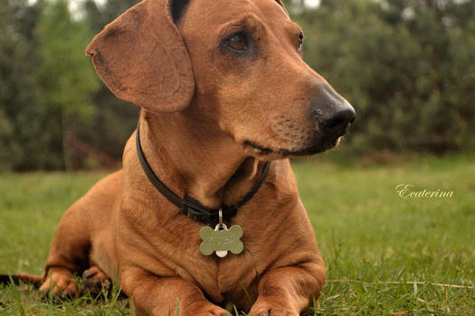 the  model dog