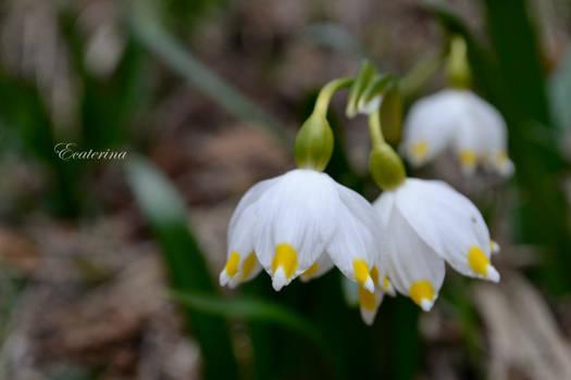 Bieszczady - MARCH 2015 - spring snowflake