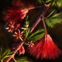 Fairy Duster Blossoms