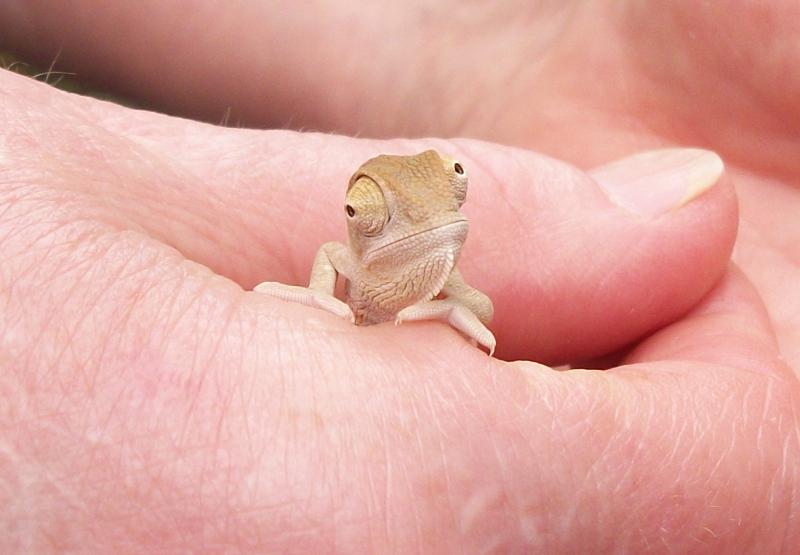 Baby chameleon by scythemantis