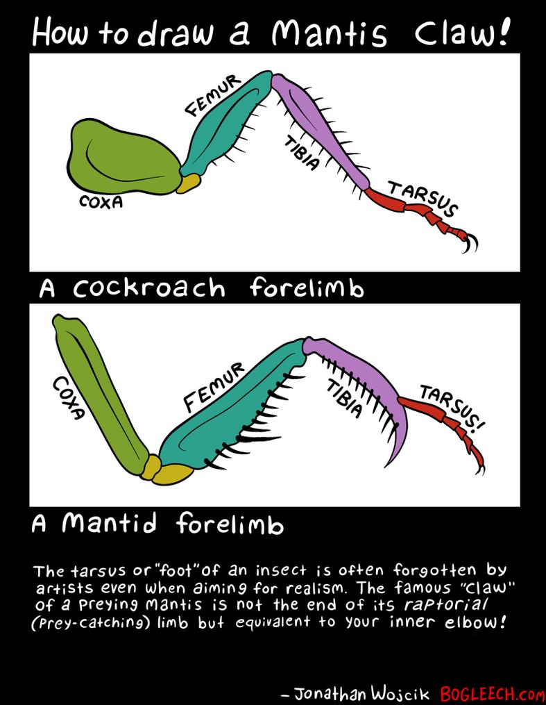 Mantis arm drawing guide by scythemantis on DeviantArt